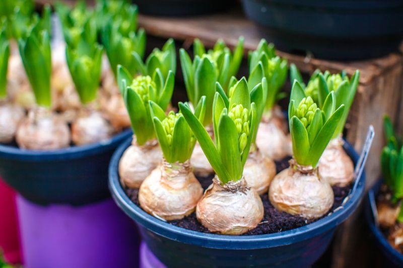 Bollen Bloeiend Voorjaar : Voorjaarsbollen planten in stappen nieuws peacock garden